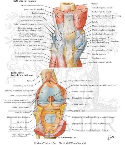 Anatomie - Knie - Orthopedie Roeselare is gespecialiseerd in de ...